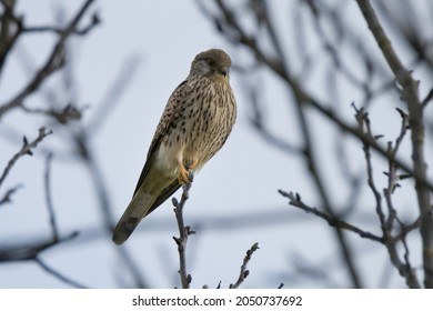 Close up of a common kestrel [Falco tinnunculus] on a tree