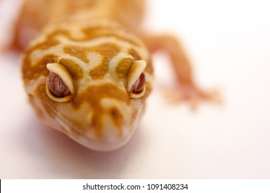 Close up of common leopard gecko (Eublepharis macularius) head and front leg,  Gecko lizard on white background in studio with macro lens. Shallow depth of field. Close up of leopard gecko.