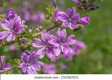 Close up of common mallow (malva sylvestris) flowers in bloom - Shutterstock ID 1767007472