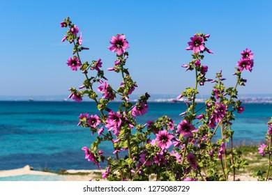Close up of common mallow plant (Malva sylvestris) and blue sea on background. Taranto, Puglia, Italy
