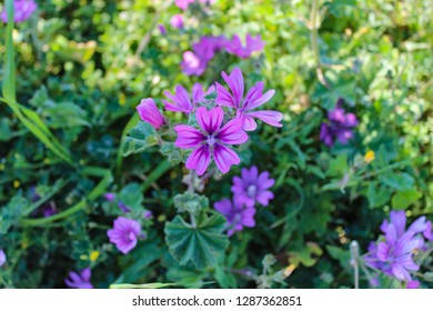 Close up of common mallow plant (Malva sylvestris) and wildflowers