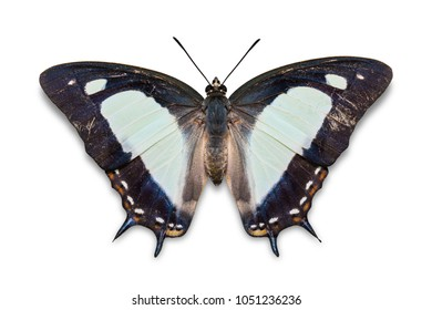 Close up of Common Nawab (Polyura athamas) butterfly, isolated on white background with clipping path
