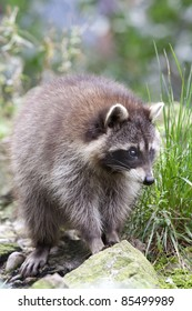 Close up of a Common raccoon, also known as North American raccoon, northern raccoon (Procyon lotor).
