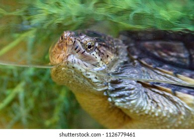 Close up of a common snapping turtle, a large reptile that is highly aggressive, half submerged in a tank of water and vegetation
