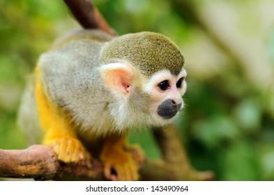 Close up of Common Squirrel Monkey (Saimiri sciureus) playing in trees