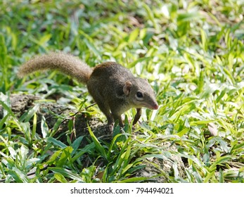 Close up of common treeshrew (Tupaia glis)  on the green grass lawn. Treeshrews or tree shrews or banxrings are small mammals native to the tropical forests of Southeast Asia.