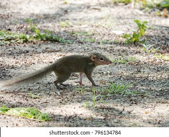 Close up of common treeshrew (Tupaia glis) on ground. Treeshrews or tree shrews or banxrings are small mammals, look like squirrel and rat native to the tropical forests of Southeast Asia.