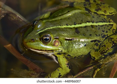 Close up of a common water frog.
