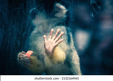 Close up conceptual image of a Bolivian Squirrel Monkey trapped inside a glass cage held in captivity.