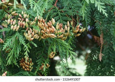 Close up of the cones of Thuja Plicata-the western red cedar tree.