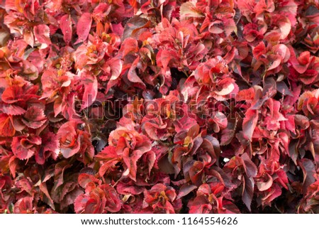 Close Copper Leaf Acalypha Wilkesiana Nature Stock Photo Edit Now