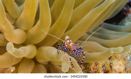 Close up in coral reef of the Caribbean Sea around Curacao with Cleaner Shrimp
