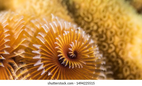 Close up in coral reef of the Caribbean Sea around Curacao with Christmas Tree Worm