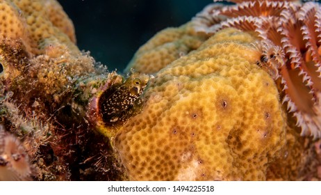 Close up in coral reef of the Caribbean Sea around Curacao with Blenny fish