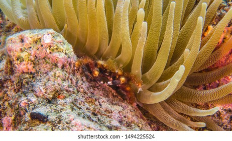 Close up in coral reef of the Caribbean Sea around Curacao with Clinging Crab under Sea Anemone