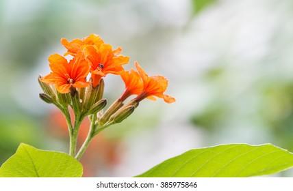 Close up of Cordia sebestena flower