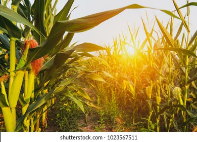 close up Corn field in the countryside, The larvae are not harvested, Many  yong maize grown for harvest to sell to food factory.