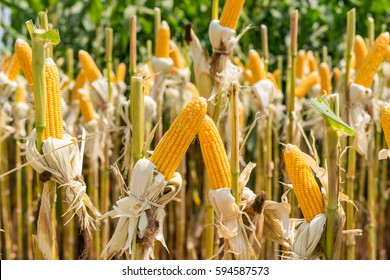 close up corn field on crop plant for harvesting