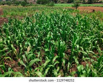 A close up of a corn field in Sonsonate, El salvador.