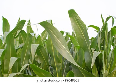 close up of corn leaves