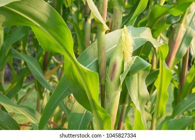 Close up of corn in the organic corn field.