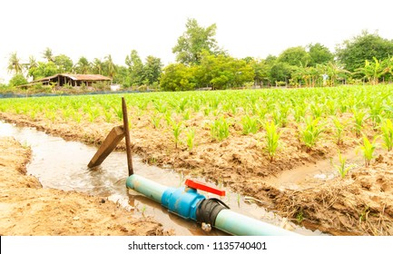 Close up of corn plant on country side, Thailand for farmland backgrounds