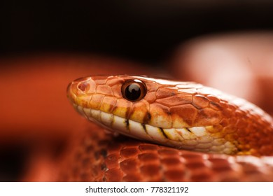 Close up of a corn snake