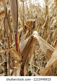 Close up of a corn stalk in a corn field showing an ear of corn in it's husk with silk hanging.