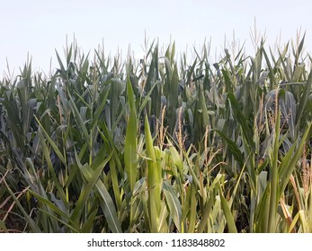 Close up of corn stalks in field
