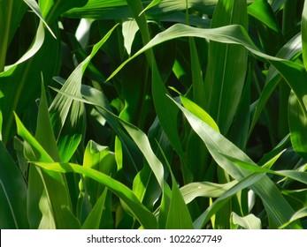 Close up of Corn Stocks