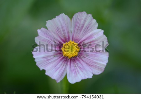 Close up of cosmos flower in bloom with bright yellow center and variegated pink, purple, white petals, isolated with narrow depth of field against green backdrop.