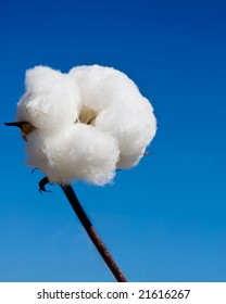 close up of cotton in the field and sky