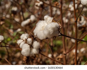 Close up of cotton plant flower ready for harvest. Plantation in Togo, Africa