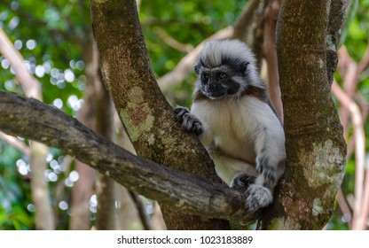 Close up of a cotton-top Tamarin Monkey (Saguinus oedipus) on the branch in natural wood and forest background