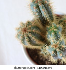 Close up of a couple of tree cactus stems in front of a white background