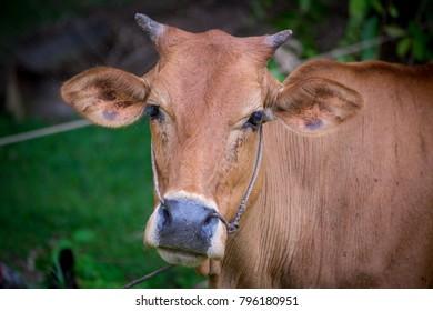 close up a cow