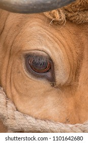 Close up of a cow big eye.