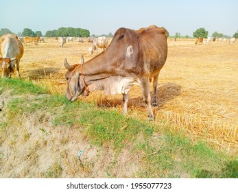 Close up of cow. Cows grazing Grass in Farm. Pakistani cows. Herd of cows at summer green field. Australian cow. Kandhari cow in farm. Milk giving animal.Dairy animal. With selective focus on Subject.