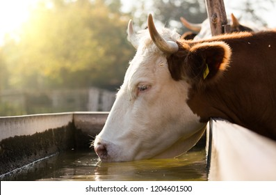 Close up of cow drinking water from reservoir on farm