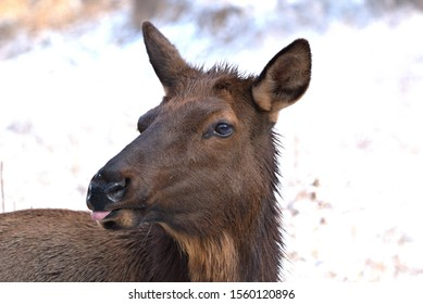 Close up of a cow elk with a white background