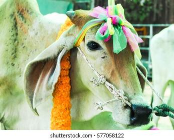 Close up cow farm agriculture.