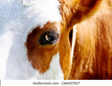 Close up of cow head and eye