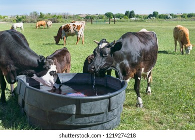 Close up of Cows drinking at Trough in Pasture on a bright sunny day.