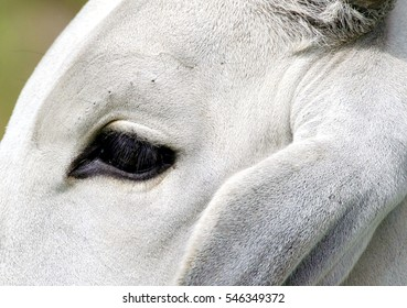 Close up of a cow's head