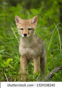 close up of a coyote pup, baby, Canis latrans, portrait in natural setting. good light and cute baby.