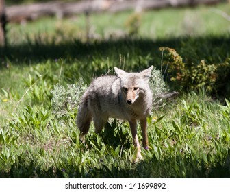 Close up of a coyote in Yellowstone.