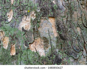 Close up of the cracked and peeling bark of an Irish Yew Tree