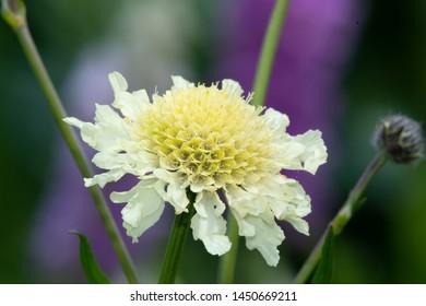 Close up of a cream pincushion (scabiosa ochroleuca) flower in bloom