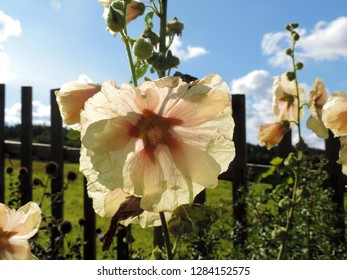 Close up of the creamy flowers of the hollyhock Alcea. Poland, Europe