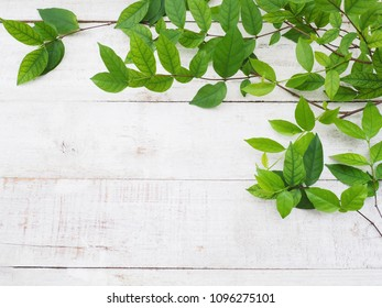 Close up creeper plant green leaves on white vintage wood. Summer or spring background.